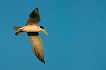 Large-billed Tern (Phaetusa Simplex) In Flight, Mato Grosso Do Sul, Brazil, South America