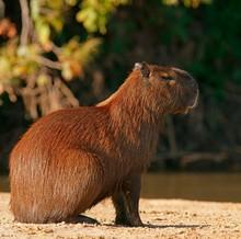 Capybara (Hydrochoerus Hydrochaeris), Pantanal, Mato Grosso, Brazil, South America