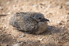 Inca Dove (Scardafella Inca), Chick Sitting In Sand, Tucson, Arizona, USA, North America