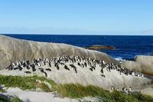 African Penguins (Spheniscus D...
