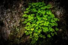 Wood Sorrel (Oxalis Acetosella) To Tree Trunk, Tyrol, Austria, Europe