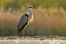 Grey Heron (Ardea Cinerea), Backlit, Stands In The Water, National Park Kiskunsag, Hungary, Europe