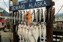Fresh Salmon;  Seward, Alaska