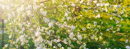 Obraz na plátne Banner beautiful apple tree branch with sun.