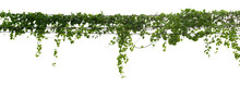 Vine Plant Climbing Isolated O...