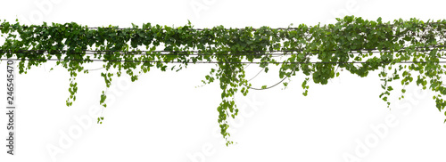 Fotografia vine plant climbing isolated on white background with clipping path included