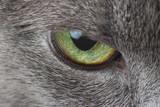 eyes of gray cat macro photography