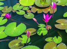 Lotus Leaf Water Flower Natura...