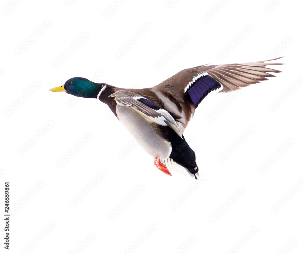 Fototapety, obrazy: Duck in flight isolated on white background