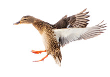Duck In Flight Isolated On White Background