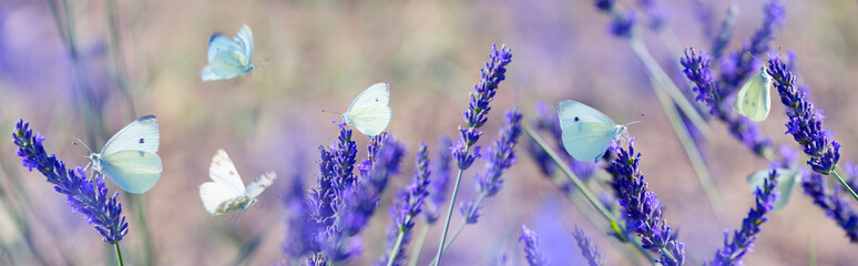 Panel Szklany Lawenda white butterfly on lavender flowers macro photo