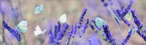 Obraz na plátně  white butterfly on lavender flowers macro photo