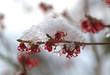 canvas print picture - Zaubernuss-Blüten mit Schnee