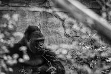 Berggorilla Im Zoo