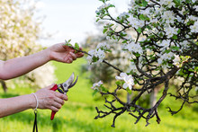 Female Hands Cutting Branch Of...