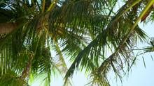 Bottom View. Beautiful Green Palm Trees Wave On Wind. Sunshine Get Through Palya
