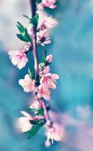 Delicate Pink Peach Plum  Tree Flower In Spring Garden.