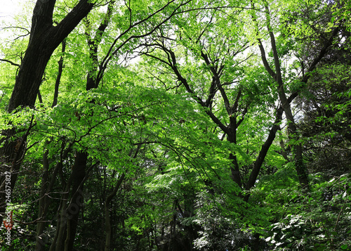 Scenery of the forest of the fresh green Canvas Print