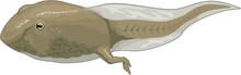 Tadpole Swimming Vector Illustration