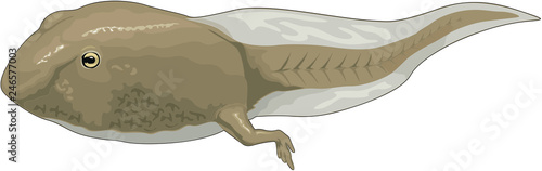 Fototapeta Tadpole Swimming Vector Illustration