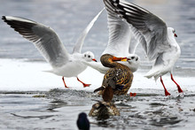Black Headed Gull And Mallard Duck Fighting For Food