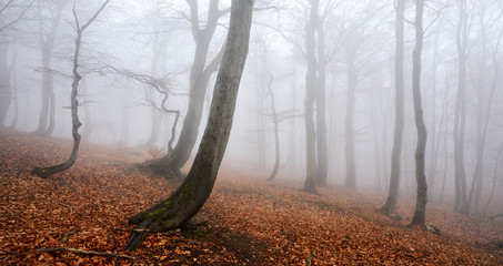 Foggy Forest of Gnarled Beech Trees in Autumn
