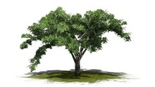 Single American Elm Tree On A Green Area - Isolated On White Background