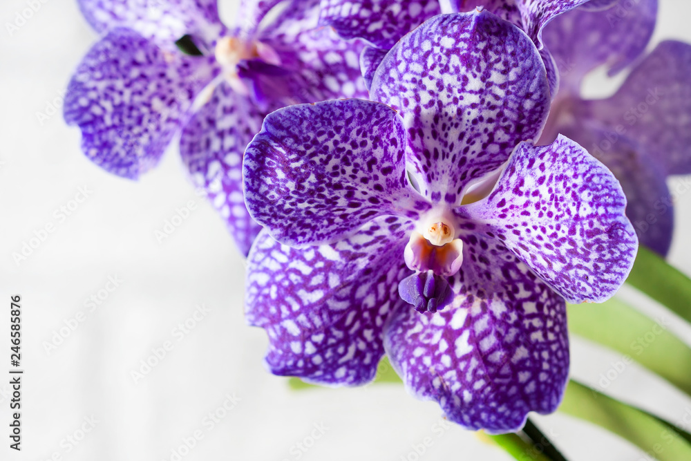 Fototapety, obrazy: Purple orchid wanda close up.Shallow depth of field, soft effect.