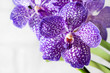 Purple orchid wanda close up.Shallow depth of field, soft effect.