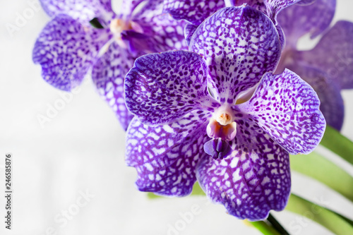 Autocollant pour porte Orchidée Purple orchid wanda close up.Shallow depth of field, soft effect.