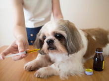 Dog Taking Medicine. Female Owner Giving Medicine Or Vitamin Supplement Syrup To Shih Tzu Dog On Wood Table At Home. Pet Health Care, Veterinary Drugs, And Treatments Concept. Close Up.