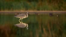 Grey Heron (Ardea Cinerea) Fishing In Lake
