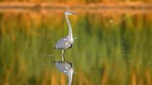 Grey Heron (Ardea Cinerea) Taking Off From Lake