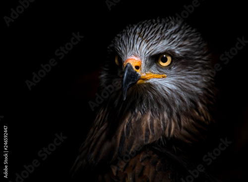 Photo  black kite