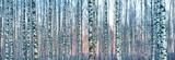 Biały brzoza las zakrywający z białym śniegiem przeciw pięknemu zmierzchowi w zimie. Łotwa - 246593631