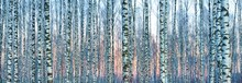 White Birch Forest Covered Wit...