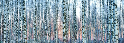 Fotografija White birch forest covered with white snow against beautiful sunset in winter