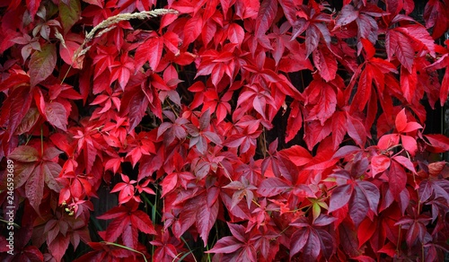 Foto  Wild grapes with red leaves growing densely on a wooden fence on an autumn day