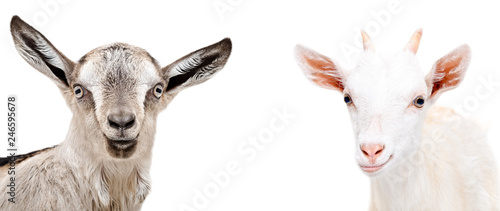 Portrait of two cute goats isolated on white background