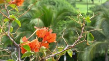 Red Bougainvillea In Bloom In ...