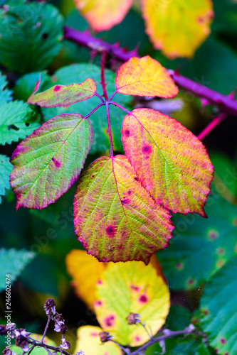 Fényképezés  Floral colorful image of autumnal blackberry leaves in yellow, red, orange,green