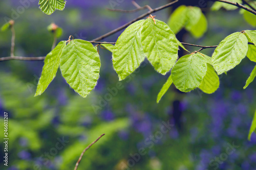 Detail of beech tree new leaves in spring
