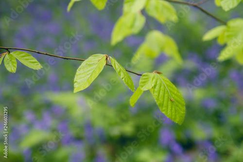 Beech tree new foliage