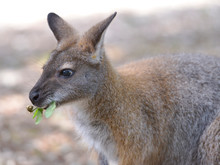 Closeup Wallaby Of Bennet, Or ...