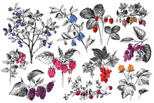 Set Of Hand Drawn Berries Bran...