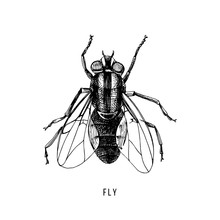 Hand Drawn Fly On White Background