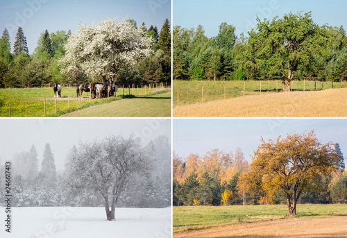 Beautiful collage of 4 seasons different pictures of an apple tree on field, same spot, place Fototapeta