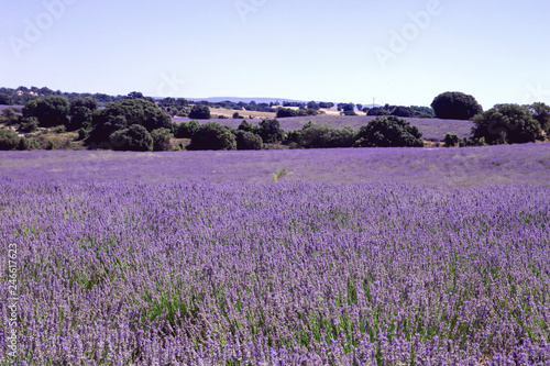 Purple landscape with lavender fields