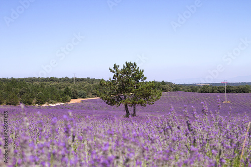 Purple lavender fields in springtime