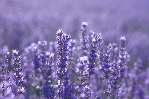 Foto op Plexiglas Weide, Moeras Close up of lavender blue flowers